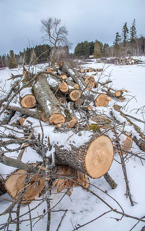 James Neiss/staff photographer <br /> Olcott, NY - Every Ash at the Krull Park is being cut down because of a devastating infestation of the Emerald Ash Borer Beetle. The same fate is evevitale for every other Niagara County Park Ash tree.