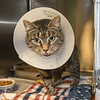 "James Neiss/staff photographer <br /> Sanborn, NY - Georgie a 3 year old kitty with 3 legs is a talker and looking for her forever home. Start the new year out right and adopt a pet! As the newspaper Pet of the Week, the adoption fee is half off. <br /> <br /> Contact the SPCA at (716) 731-4368 or  <a href=""http://www.niagaraspca.org"">http://www.niagaraspca.org</a> for more information on how you can give a cat or dog their forever home."