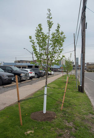 James Neiss/staff photographer <br /> Lockport, NY - Several new trees were planted a couple weeks ago behind City Hall on Niagara Street.