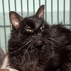 """James Neiss/staff photographer <br /> Sanborn, NY - Lucky, 15 year old longhair kitty is hoping to live up to his name and find his forever home. You could be lucky too as he is the newspaper Pet of the Week and his adoption fee is half off. <br /> <br /> For more information, contact the SPCA at (716) 731-4368 or  <a href=""""http://www.niagaraspca.org"""">http://www.niagaraspca.org</a>."""