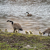 James Neiss/staff photographer <br /> Wilson, NY - These Geese and  goslings didn't seem to care about the rising waters around Tuscarora State Park in Wilson.