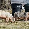 190402 Pig Enterprise 3