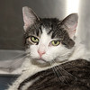 "James Neiss/staff photographer <br /> Sanborn, NY - Yvie is a 9 year old kitty who is very loving and likes her head scratched. She came in as a stray and is looking for a forever home. As the newspaper Pet of the Week, her adoption fee is half off.  <br /> <br /> For more information, contact the SPCA at (716) 731-4368 or  <a href=""http://www.niagaraspca.org"">http://www.niagaraspca.org</a>."
