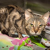 """James Neiss/staff photographer <br /> Sanborn, NY - Jags is a mellow 14 year old kitty looking for someone's lap to sit on. As the newspaper Pet of the Week, his adoption fee is half off. <br /> <br /> For more information, contact the SPCA at (716) 731-4368 or  <a href=""""http://www.niagaraspca.org"""">http://www.niagaraspca.org</a>."""