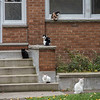 James Neiss/staff photographer <br /> Niagara Falls, NY -  On many levels, it appears that cats at this Independence Avenue dwelling have joined a neighborhood watch group. (Cutline by former Niagara Gazette editor Karen Keefe)<br /> <br /> Editor's note: As this is a playfully visual image, I thought it would be fun to reach out to my Facebook friends, many of which are in the news business or retired colleagues like Karen Keefe. There were many interesting responses, but I thought Karen's was the cats meow.