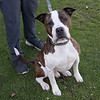 """James Neiss/staff photographer <br /> Sanborn, NY - Archer is a happy 2 year old American Bulldog mix that love to play and go for long walks. As the newspaper Pet of the Week, his adoption fee is half off. <br /> <br /> For more information, contact the SPCA at (716) 731-4368 or  <a href=""""http://www.niagaraspca.org"""">http://www.niagaraspca.org</a>."""