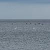 James Neiss/staff photographer <br /> Olcott, NY - Swans swim off Olcott Beach on Lake Ontario.