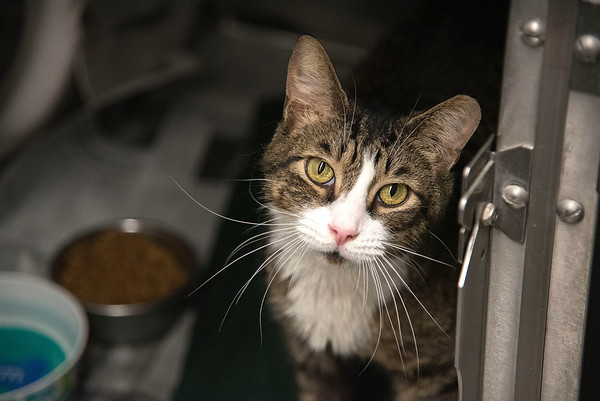 """James Neiss/staff photographer <br /> Sanborn, NY - Do you have a big heart? Oscar the kitty is looking to fill that heart with love! Oscar is a 7 year old looking for his forever home. As the newspaper Pet of the Week, his adoption fee is half off. <br /> <br /> For more information, contact the SPCA at (716) 731-4368 or  <a href=""""http://www.niagaraspca.org"""">http://www.niagaraspca.org</a>."""