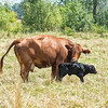 James Neiss/staff photographer <br /> Cambria, NY - The Miracle of Life -  A calf takes it's first steps as the moma cow cleans up the after birth in a field at the Wasik Farm in Cambria.