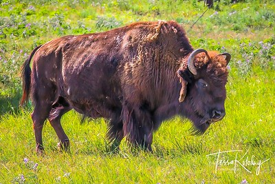 Bison-4609