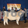 Champion Shorthorn