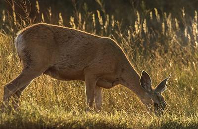DA011,DT,Deer at Roosevelt N P  SDakota)