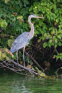 DA111,DN,Great Blue Heron
