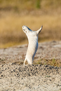 DA022,DN,White-prairie-dog-mating-dance