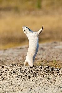 DA022,DN,White-prairie-dog-mating-dance