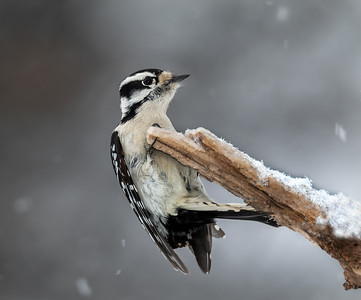 DA061,DN,Downy Woodpecker 2