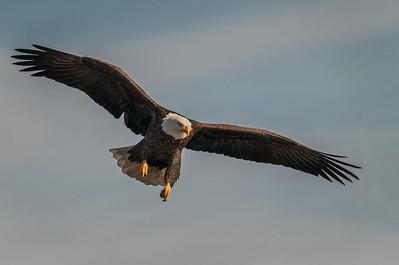 DA061,DN,Eagle