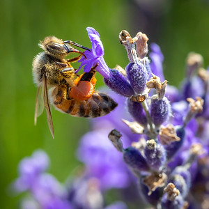 DA022,DN,fully loaded honey bee on lavender
