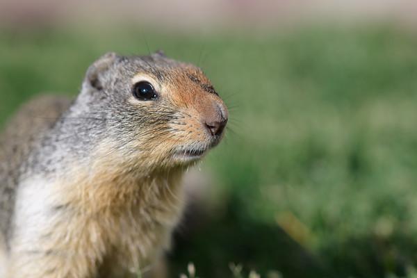 Curious ground squirrel