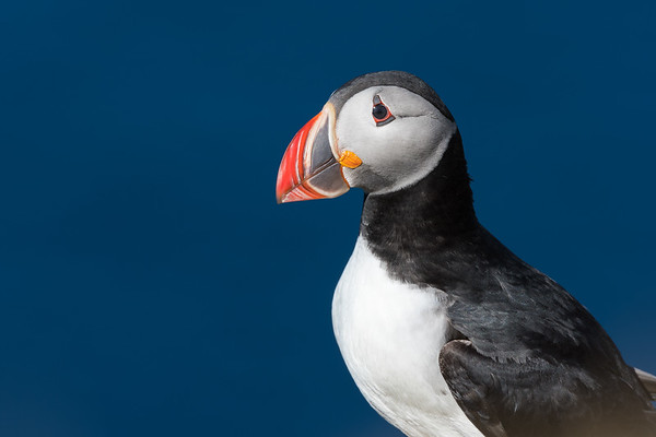 Puffin isolated on a beautiful day in North Iceland