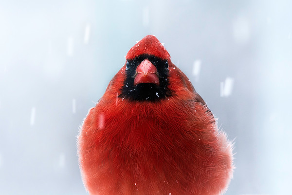 Cardinal in winter snow storm