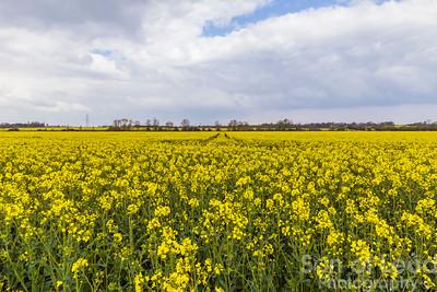 Rapeseed Fields along the Chelmer - Essex