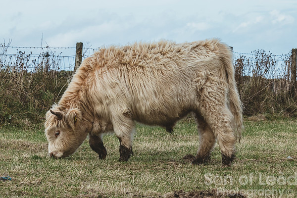 Highland cows and friends in Trumpan