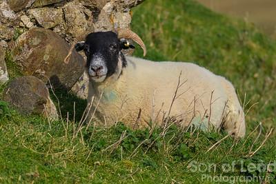 Scottish Blackface Sheep