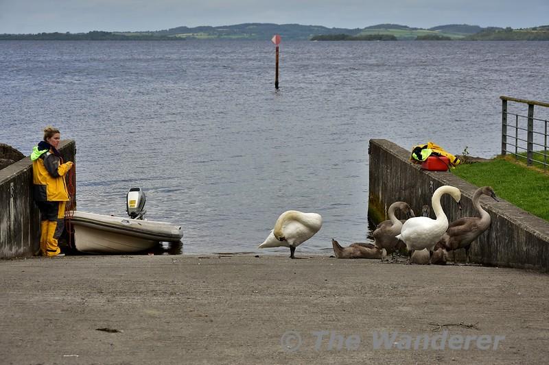 Swans in Garrykennedy. Sun 01.09.19