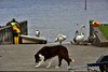 Fluffy, the local dog in Garrykennedy takes no notice of the swans on the slipway. Sun 01.09.19