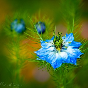 Love in a Mist - flower form