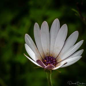 White Osteospermum Daisy Flower with Purple Centre
