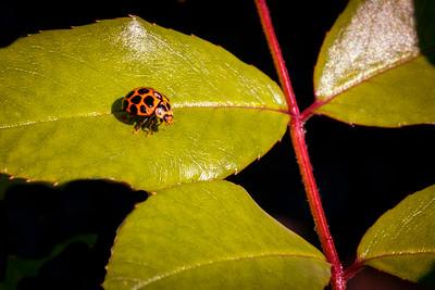Ladybird (Coccinellidae beetle)