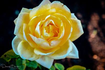 Long stemmed rose (Hybrid Tea)