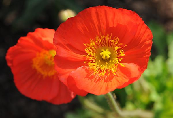 San Juan Capistrano blooms - by Laura Hoffman