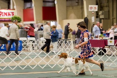 BRITTANYS Bred by Exhibitor Dogs. 2      21SHERWOOD FOREST'S HIGH SPEED PURSUIT , SS04985801 4/19/2018. Breeder: Christa Wedel. By GCHG Hope's Exceeding The Speed Limit Ud OM1 -- CH Sanbar's Midnight Call At Sherwood Forest. Christa Wedel . Dog.