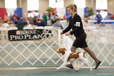 26CALIAH'S BAYLEE OF MORRO JH , SS03999302 2/22/2018. Breeder: Mary Brown & Shellie Sytsma. and K Cheri Jones & Jo Zito By NAFC GF FC AFC Spanish Corral's Sonny Patch -- CH Caliah Sanbar's Floaring River JH CGC. Karon Cushing and Shellie Sytsma . Bitch.