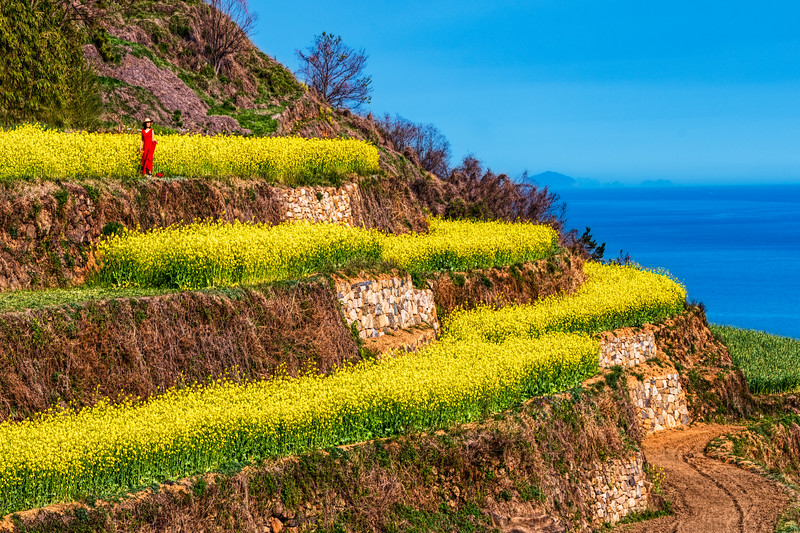 Canola Flower Terraces on Namhae