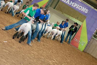 Tulsa_2019_grand-drive-sheep-9