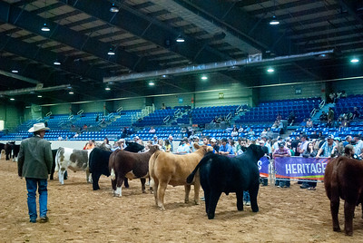Tulsa_20191002_grand-drive-steers-4