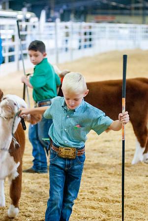 Tulsa_20191001_steers_miniherefords-3