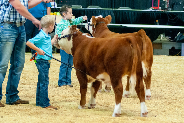 Tulsa_20191001_steers_miniherefords-19