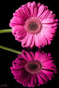 Pink Close-Up