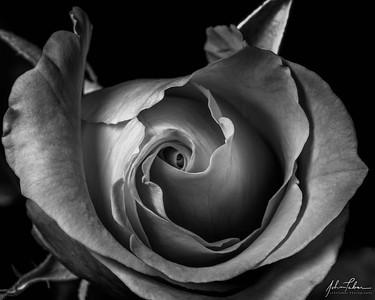 Macro Study of Rose #2