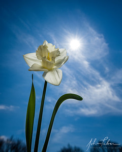 Springtime Daffodil