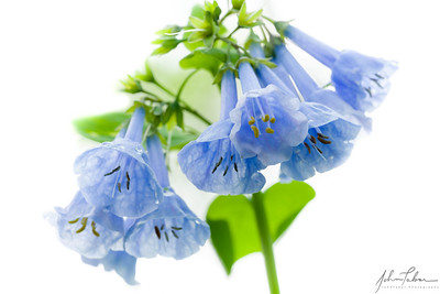 Bluebells in High Key