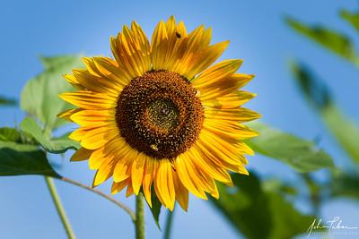 Sunflower at Frying Pan Farm Park, Herndon, Virginia