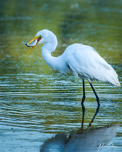 Egret breakfast