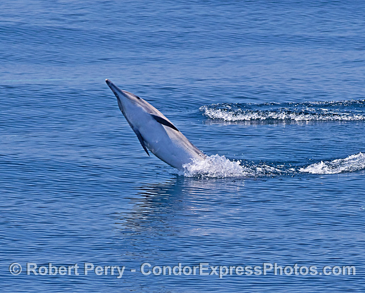 Tail-walking long-beaked common dolphin.