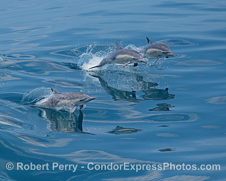 Leaping long-beaked common dolphins..